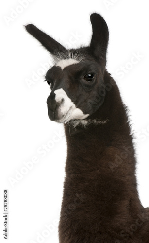 Spoed Foto op Canvas Lama Llama, Lama glama, in front of white background