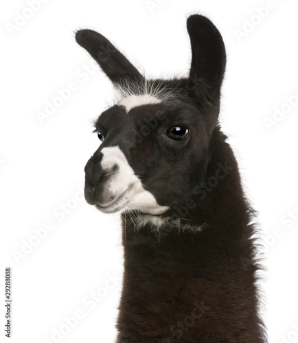 Cadres-photo bureau Lama Llama, Lama glama, in front of white background