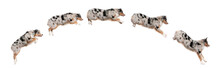 Composition Of Australian Shepherd Dogs Jumping In A Row, 7 Mont