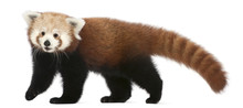 Young Red Panda Or Shining Cat, Ailurus Fulgens, 7 Months Old