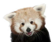 Close-up Of Young Red Panda Or...