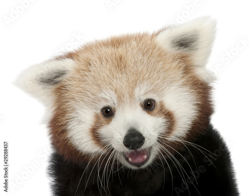Photo  Close-up of Young Red panda or Shining cat, Ailurus fulgens
