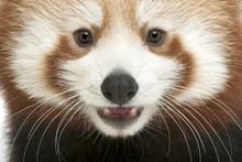Close-up Of Young Red Panda Or Shining Cat, Ailurus Fulgens
