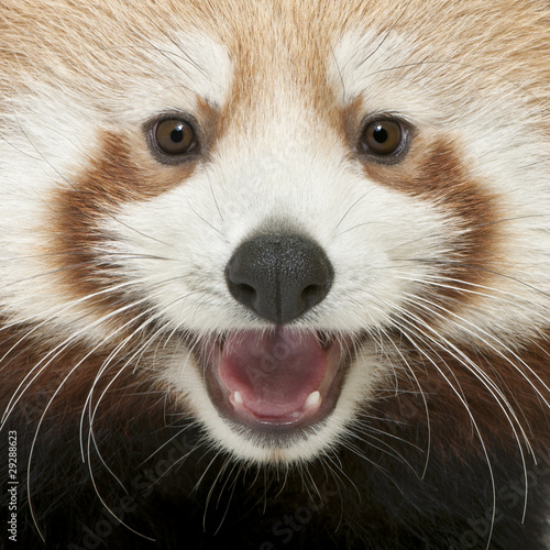 Close-up of Young Red panda or Shining cat, Ailurus fulgens Canvas Print