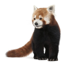 Old Red Panda Or Shining Cat, Ailurus Fulgens, 10 Years Old