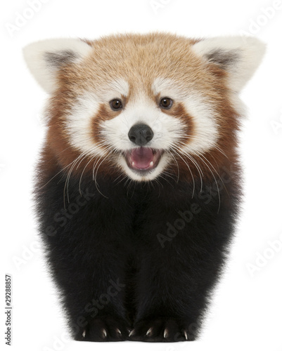 Photo  Young Red panda or Shining cat, Ailurus fulgens