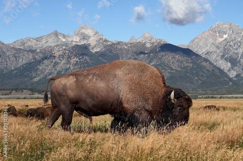 Papiers peints Bison American Bison (Buffalo)