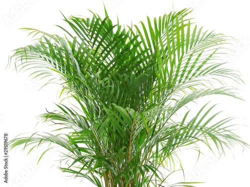 Photo betel nut palm plant