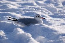 Seagull On Snow