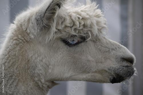 Foto auf AluDibond Lama Albion Lama