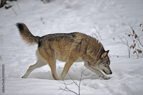 Foto op Aluminium Wolf Alphawolf