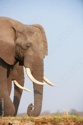 Staande foto Leeuw Large African elephant bull