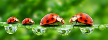 Ladybugs Family On A Grass Bri...