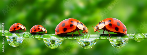Poster Coccinelles Ladybugs family on a grass bridge.