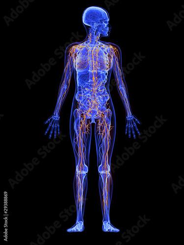 weibliche Anatomie - markiertes Lymphsytem – kaufen Sie diese ...