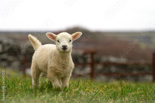 Photo sur Aluminium Sheep Irish baby sheep