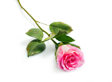 Flower Beautiful Pink Rose