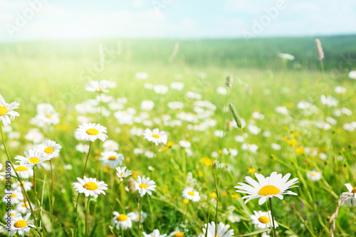 Wall Murals Meadow field of daisy flowers