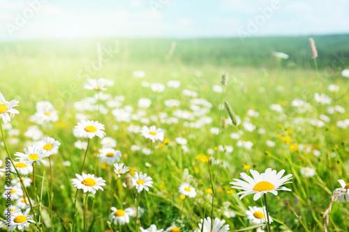 Foto-Duschvorhang - field of daisy flowers