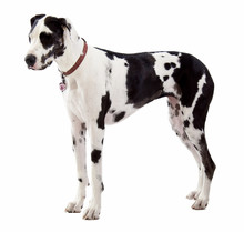 Great Dane Standing On White Background
