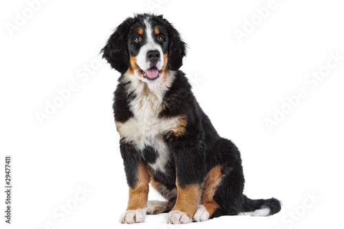 Puppy bernese mountain dog Canvas Print