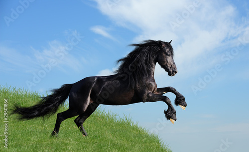 Foto op Canvas Paarden black horse playing on the field