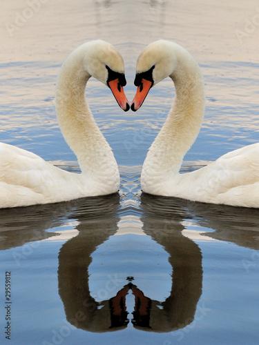 Obraz na plátně Swan Symmetry Portrait
