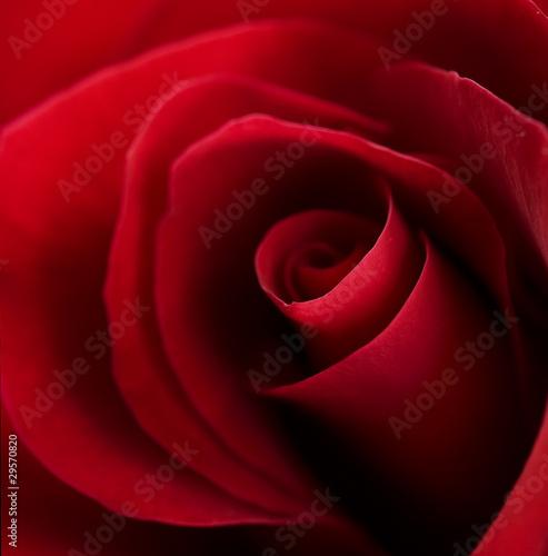 czerwona-roza-z-bliska-selektywna-ostrosc