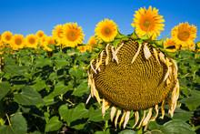Old Sick Sunflower