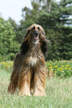 Afghan Hound Stand Up