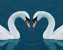 Two Swans In The Calm Morning Lake - Valentine Image With Heart