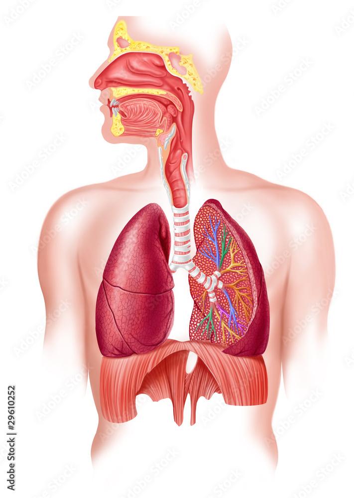 Fototapeta Human full respiratory system cross section