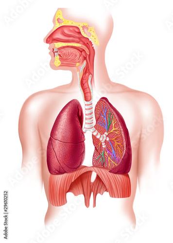 Obraz Human full respiratory system cross section - fototapety do salonu