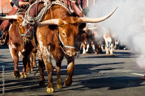 Staande foto Texas Texas Longhorns
