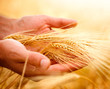 canvas print picture - Wheat ears in the hands. Harvest concept