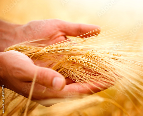 Fotografia  Wheat ears in the hands. Harvest concept