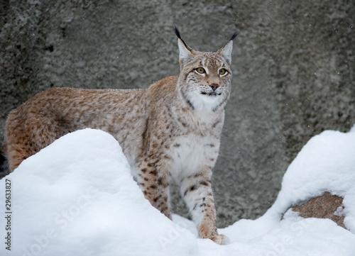 Wall Murals Lynx животные/дикая природа