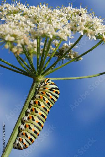 Obraz na plátně Chenille du papillon Machaon sur une tige d'ombellifère