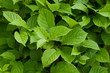 Green fresh leaves
