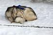 Chien de traîneau : Husky Sibérien