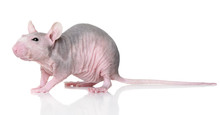 Hairless Rat On A White Backgr...