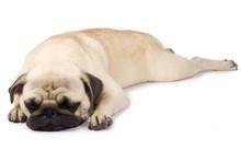 Cute Pug Sleeping