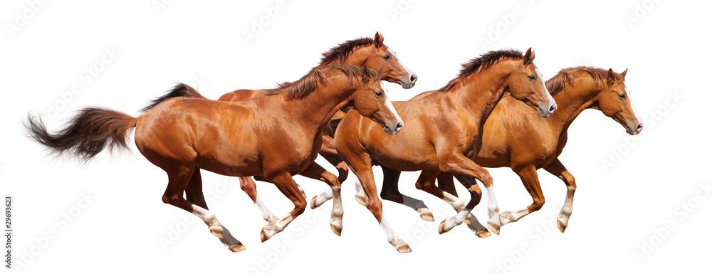 Fototapety, obrazy: Four sorrel stallion gallop