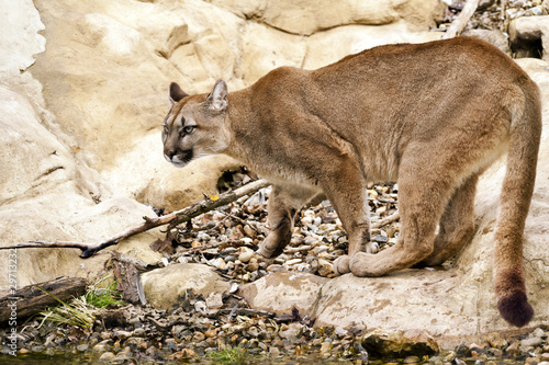 Staande foto Puma Mountain Lion Cougar
