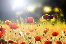 Colorized Field Of Poppies