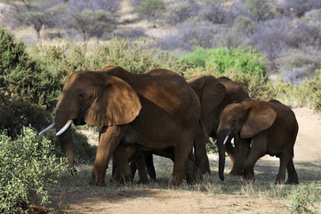 Obraz na Szkle Słoń African Bush Elephant (Loxodonta africana) at Masai Mara, Kenya