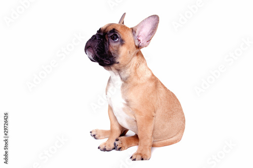 Deurstickers Franse bulldog Little french bulldog puppy