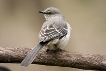 Beautiful Mockingbird Sitting ...