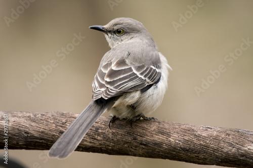 Beautiful mockingbird sitting on tree limb Wallpaper Mural