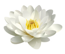Realistic White Water Lily Vector
